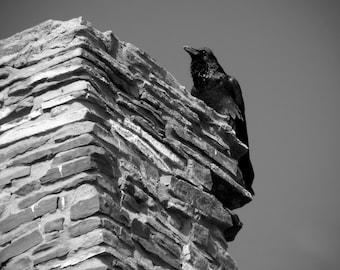 Inquisitive Raven - Nature Photography - Modern Art