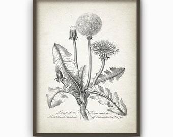 Dandelion Antique Botanical Art Print - Vintage Botanical Home Decor - Antique Illustration - Giclee Dandelion Flowers Picture (B66_2)