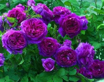 Heirloom 300 Climbing Rose Seeds Climber Purple Perennials Organic Garden Flower Bulk Double B3300