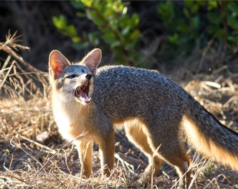 San Diego Gray Fox Snarl - 12x18 16x24 20x30 24x36 Metal Print - Nature Photography - Modern Art Wall Art - Fox -