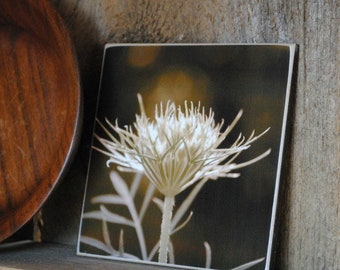 Queen Anne's Lace Photograph Mounted on Wood