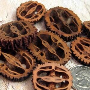 12 Black Walnut Slices-assorted sizes