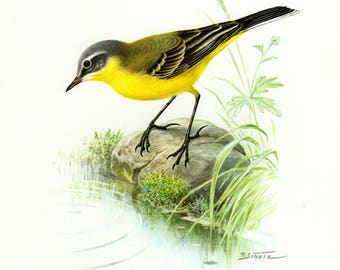 Vintage lithograph of the western yellow wagtail from 1956
