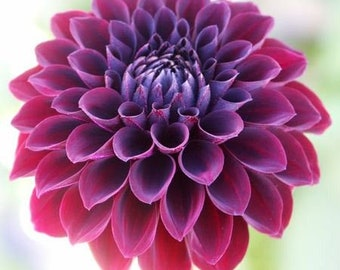 Black Blood Dahlia Flower Seeds / Annual 10+