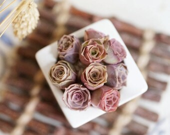Greenovia Aurea ex El Hierro, Pink Mountain Rose, pink succulent, rare succulent,  10 seeds
