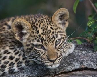 Leopard Cub - I am tried
