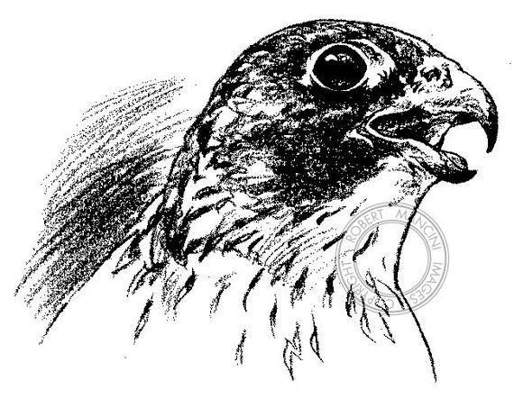 Peregrine Falcon Pencil Drawing Bird Art Wildlife Art