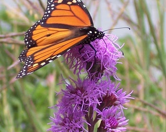 Purple Liatris | Blazing Star | Gayfeather - 12 Vigorous Bulbs - Perennial