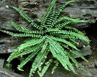 5 MAIDENHAIR SPLEENWORT FERN root/rhizome