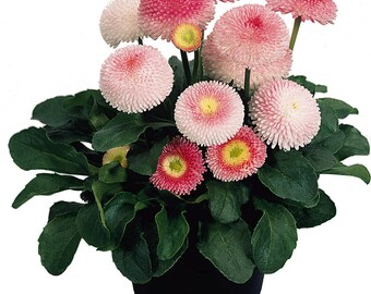 50+  BELLIS, TASSO Strawberries & Cream aka English Daisy, Award Winning Variety / Perennial Flower Seeds