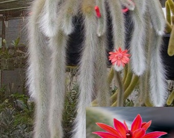 Hildewintera Colademononis * Stunning Monkey Tail Cactus * Red Flowers * 10 seeds