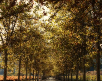 Napa in November - Autumn colors in bloom on this Napa Valley road.  California Nature Photo