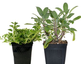 Herb Collection Sage and Oregano Grown Organic Herb Plants Contains 2 Live Plants Potted - Great Gift for Gardeners Non-GMO