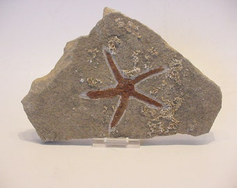 Fossil Star Starfish Morocco, Collectible Decorative, Educational (14t121)