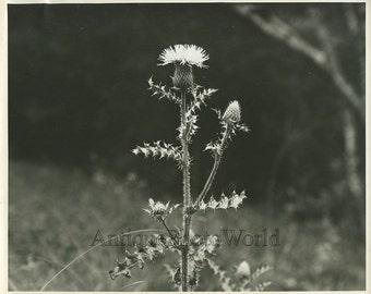 Thistle flower antique plant art photo