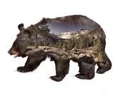 Black Bear Animal with La...