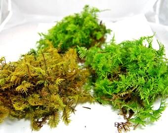 Live moss mix. Terrarium moss, vivarium moss, for miniature or fairy garden, terrarium plant, live decor, vivarium plant, for frogs,
