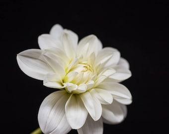 Nature Print, Botanical Wall Art, Flower Photography, White Dahlia - color photograph, black and white, pale yellow, nursery art, wall decor
