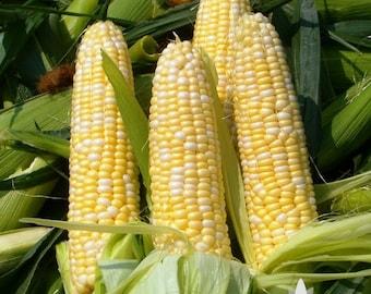 Golden Bantam 8-Row Sweet Corn Heirloom Seeds - Non-GMO, Open Pollinated, Untreated