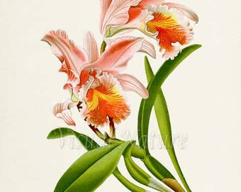Pink Easter Cattleya Flower Art Print, Botanical Art Print, Flower Wall Art, Orchid Flower Print, Floral Print, Home Decor, pink