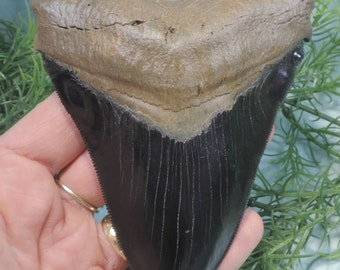 Beautiful 5''  Megalodon Tooth Replica!!