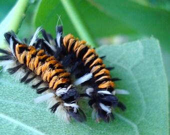 Milkweed Tussock Moths on Milkweed Photo Card