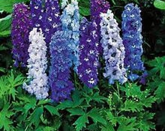 Delphinium Seeds Magic Fountains, Dwarf Mix Flowers, Perennial, Attracts Hummingbirds, 25 Seeds