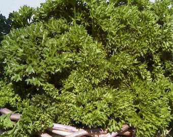 Triple Moss Curled Heirloom Parsley Herb Seeds Non-GMO Naturally Grown Open Pollinated Gardening