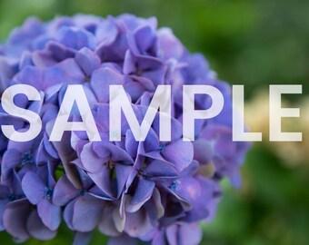 Hydrangeas Photo Download
