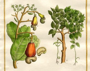 Botanical Engraving of The Cashew Nut Plant by J.Y.Schley. Antique 18th Century Engraving, Hand Coloured in Watercolour.