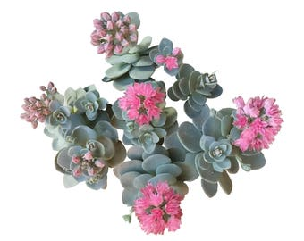 Sunsparler sedum blue elf lavender pink flower Sedum x Orostachys hybrid Sedoro Blue Elf Stonecrop Hybrid Sedum