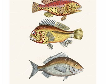 Antique Natural History Print Sea Bream Fish Sparidae Porgy