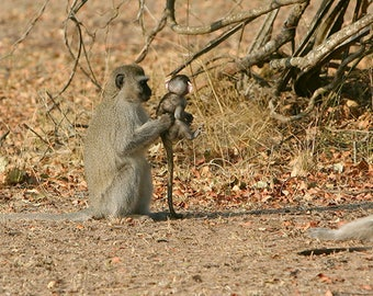 This is your brother, vervet monkey family