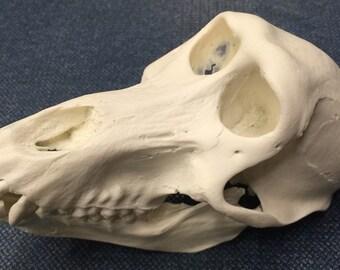 Baboon skull replica