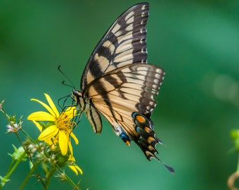 Yellow Tiger Swallowtail Printable Download