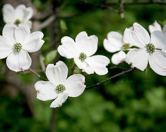 White Dogwood Blooms Fine Art Photography Spring Flower Tree Emerald Green Nature Cottage Chic Home Decor Wall Art