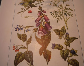 Poisonous Plants Botanical 1904 - vibrant color print Deadly Nightshade Foxglove  - Science Illustration - Print only or with Mat Ships fast