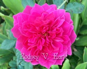 Pink Flower Instant Digital Photo Download