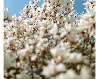 Flower Photograph - Magnolia Art - Nature Photograph - Botanical Print - Tell Me What You Know -  Fine Art Photograph - Magnolia Tree - Bock