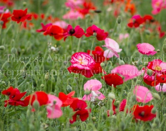 Poppies // Texas Wildflowers // Hill Country // Spring // Wildflowers // Pink // Red // Texas