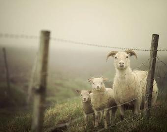 "Sheep Print, Rustic Nature Photography Print, Rustic Decor, Farmhouse Decor, Sheep Photograph, Rural Scene ""Here's Looking at Ewe"""