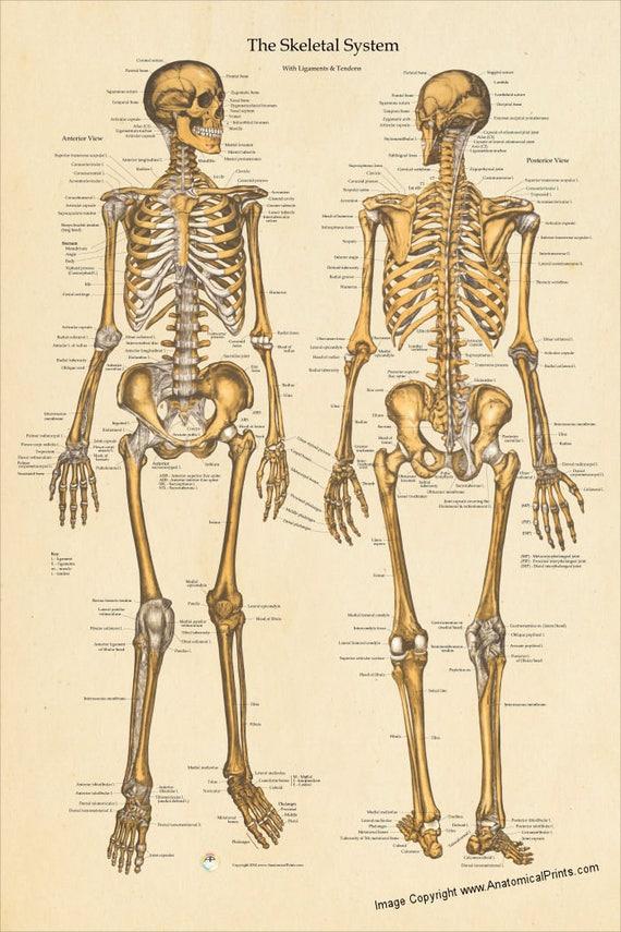 Menschliche Skelett Anatomie Poster vorderen und hinteren