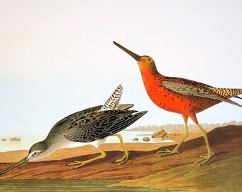 Large 2 Sided 1981 Vintage Audubon Bird Book Plate Common Snipe, Short BIlled Dowitcher