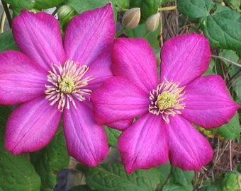 Clematis, Purple Clematis, Purple Flowers, Flower Photography, Clematis Photo