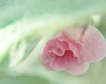 pink hollyhock from my garden-flower photography - flower photo- cottage garden photo - Original fine art photography prints - FREE Shipping