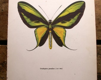 Vintage Green and Yellow Butterfly Botanical Print - Ornithoptera paradisea