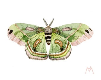ORIGINAL Cecropia Moth water-colour painting insect
