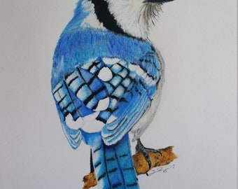 Blue Jay color pencil drawing