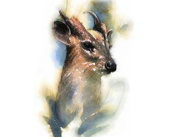 Muntjac deer | Limited edition fine art print from original drawing. Free shipping.