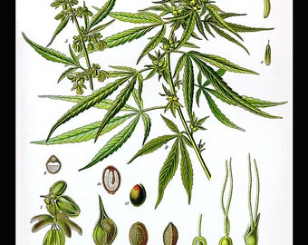 Large Antique Botanical Print Of Cannabis Sativa, Herb, Healing